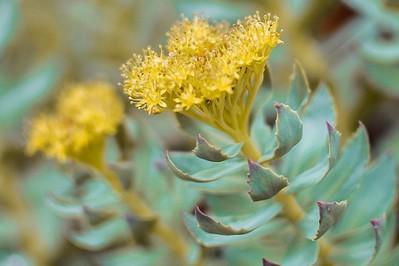 Różeniec górski (Rhodiola Rosea), czyli arktyczny korzeń: jakie są jego właściwości lecznicze?